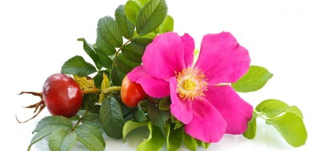 Rosa mosqueta: origen, propiedades y beneficios